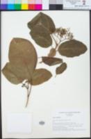 Premna serratifolia image