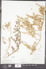 Salsola kali image