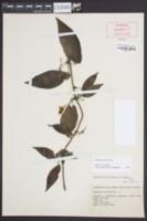 Bignonia capreolata image