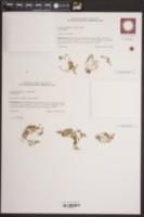 Crassula aquatica image