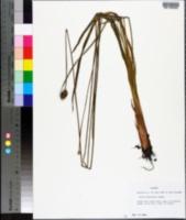 Xyris platylepis image