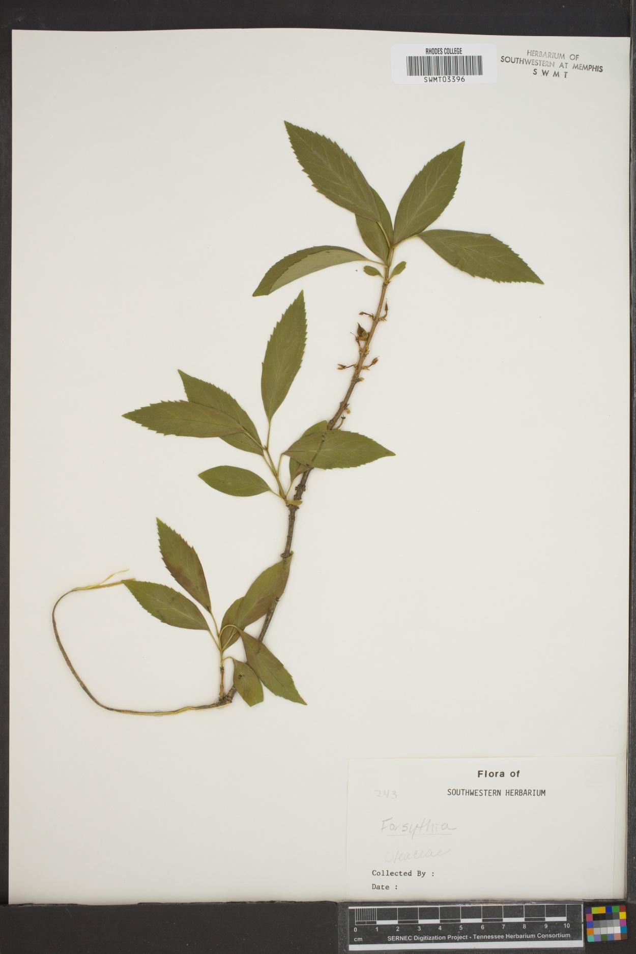 Forsythia giraldiana image