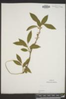 Image of Forsythia giraldiana
