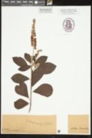 Clethra tomentosa image
