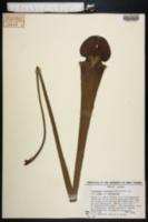 Image of Sarracenia x areolata