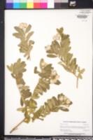 Polygala myrtifolia image