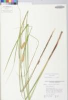 Carex vesicaria image