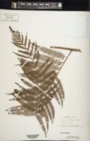 Cibotium barometz image