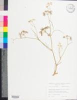 Image of Limnosciadium pinnatum