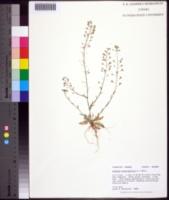 Capsella bursa-pastoris image