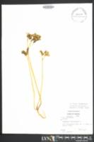 Image of Euphorbia helioscopia