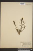 Image of Orthocarpus pilosus