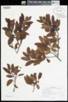Image of Santalum pyrularium
