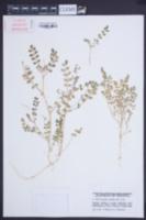 Image of Astragalus arpilobus