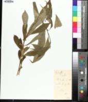 Cubelium concolor image