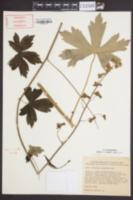 Image of Aconitum reclinatum