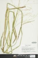 Glyceria laxa image