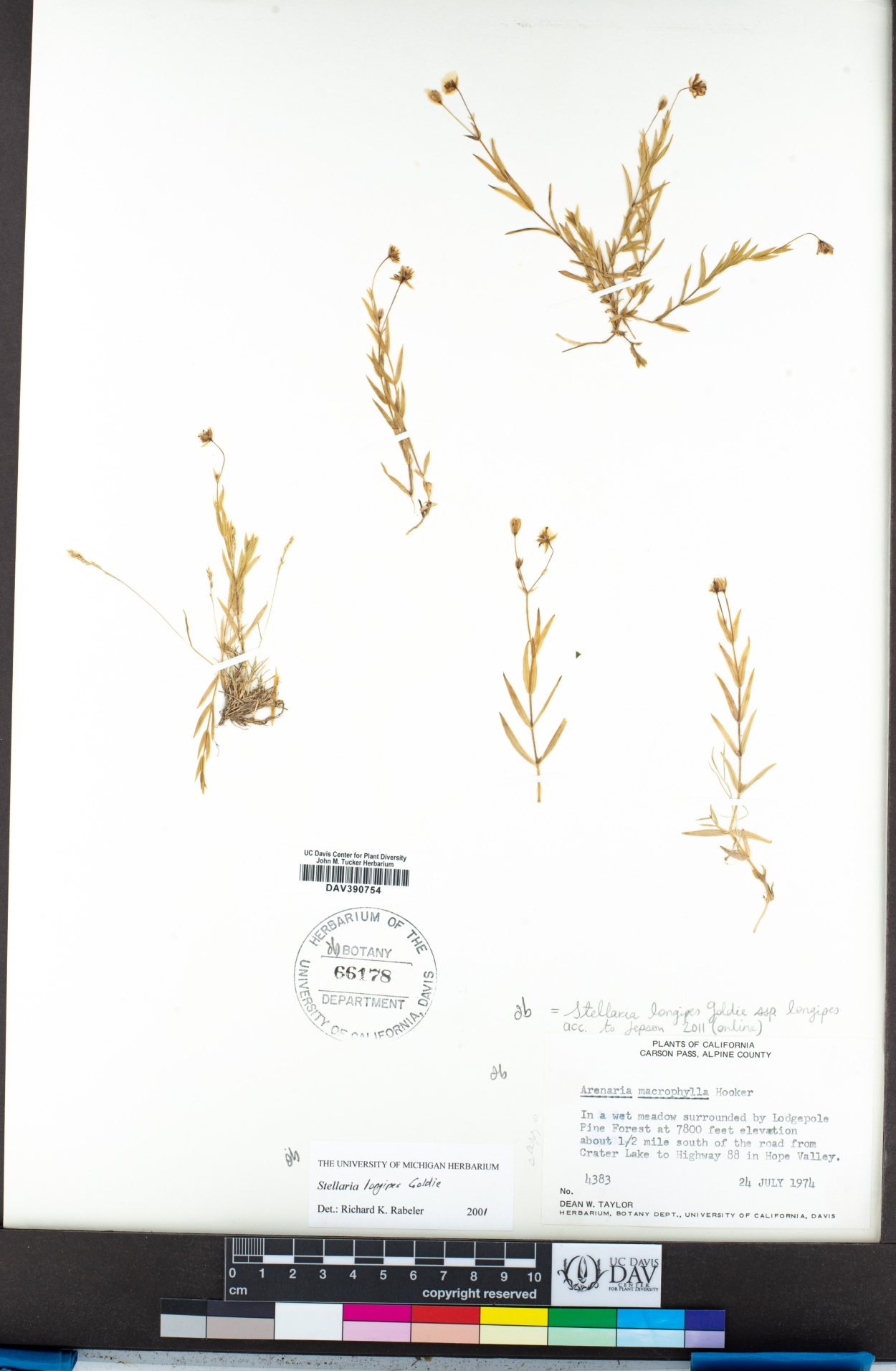 Stellaria image
