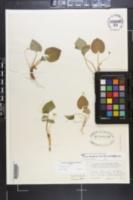 Viola blanda var. palustriformis image