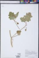 Solanum campechiense image