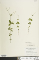 Image of Galium bermudense