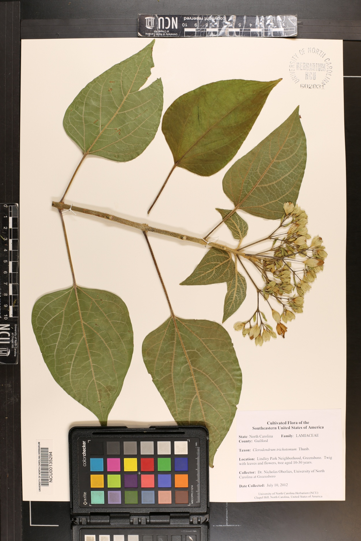 Clerodendrum trichotomum image