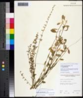 Image of Lobelia appendiculata