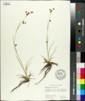 Image of Rhynchospora saxicola