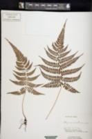 Image of Athyrium arisanense