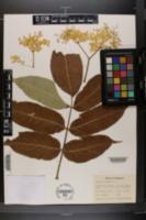 Sambucus nigra image