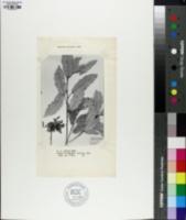 Quercus epileuca image