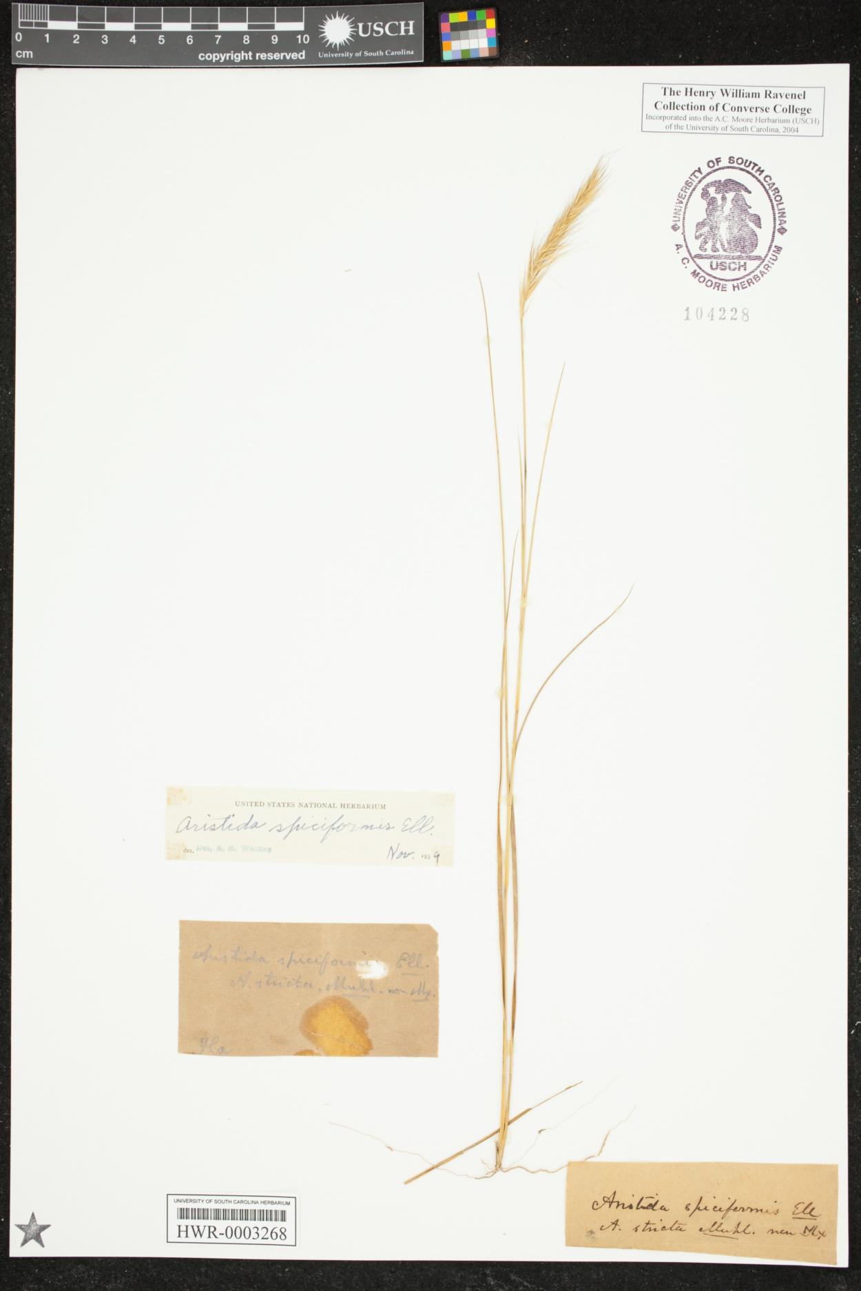 Aristida spiciformis