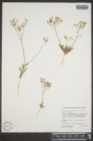 Gilia cana subsp. speciformis image
