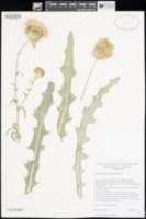 Cirsium mohavense image