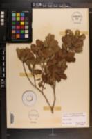 Reynosia septentrionalis image
