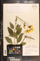 Coreopsis integrifolia image