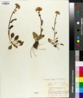 Image of Senecio achilleifolius