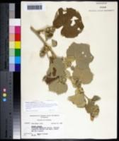 Image of Pavonia senegalensis