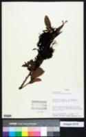 Image of Calliandra coriacea