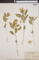 Image of Scutellaria montana