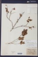 Lyonia mariana image