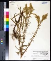 Solidago pinetorum image