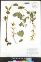 Thermopsis gracilis image
