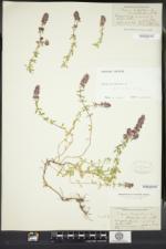 Thymus pulegioides image