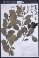Ilex sideroxyloides image