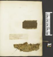 Lopharia papyrina image
