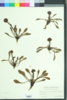 Image of Globularia vulgaris