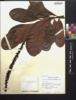 Norantea guianensis image