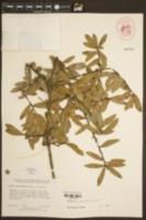 Quercus hemisphaerica image