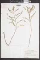 Image of Phyllanthus abnormis